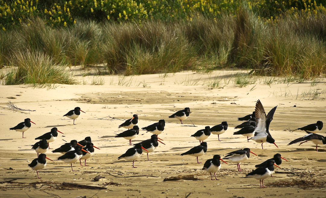catlins, oyster catchers